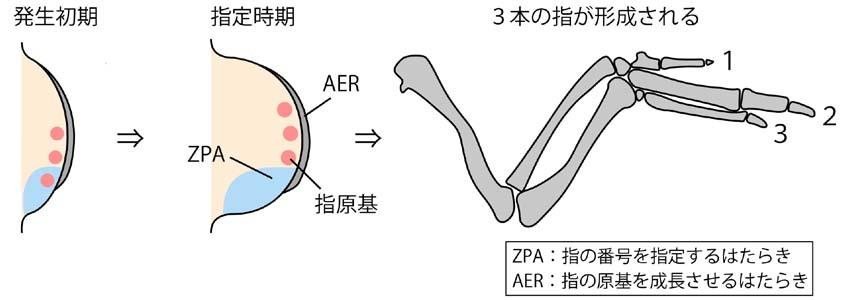 図3. ニワトリ前肢の発生過程(...