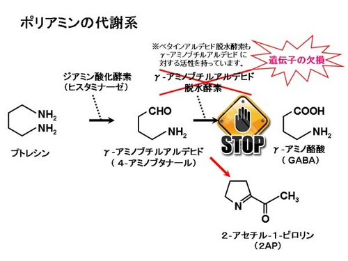 ポリアミン代謝系.jpg